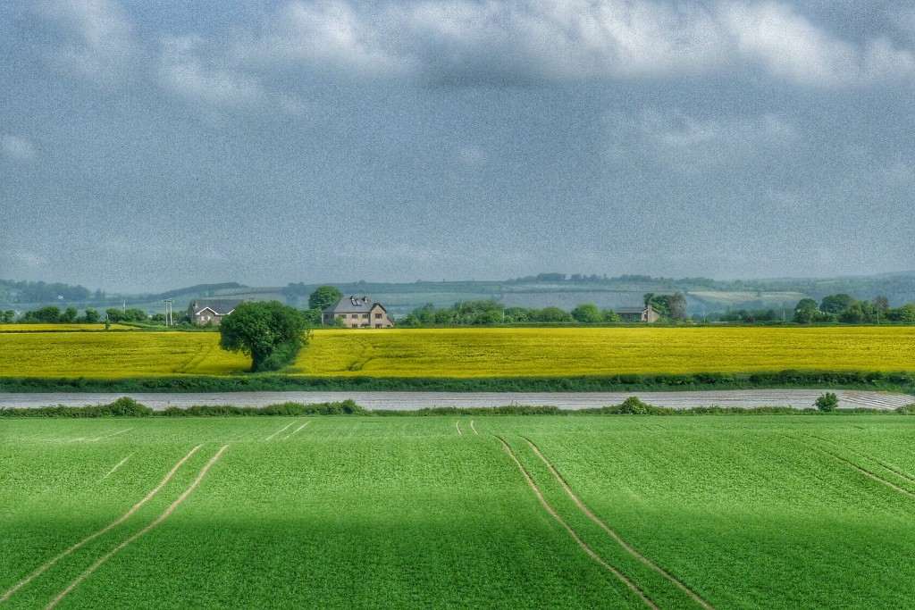 We saw a lot of mustard fields in the UK. The Irish grow mustard too.