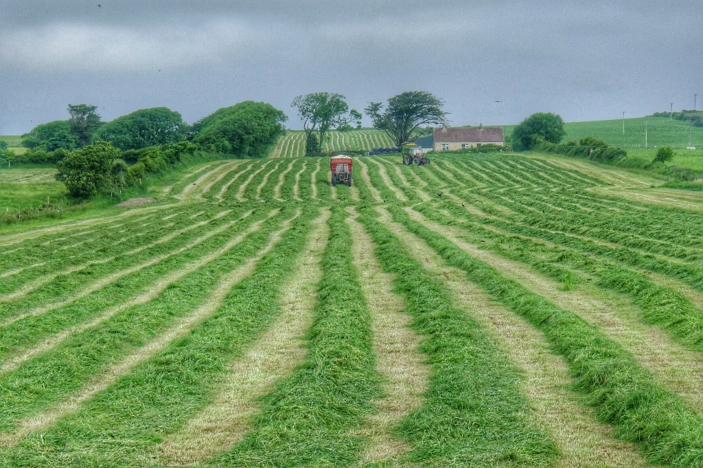 Farmers use a machine to first cut the grass into neat rows. A second machine then vacuums the cut grass and deposits a cellophane wrapped hay roll that looks like a giant marshmallow.