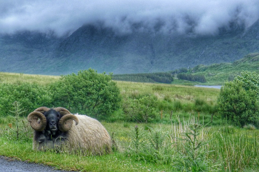 The majestic ram reigns over his fertile kingdom, that is until a cyclist rolls by. Then he runs off like a little lamb.