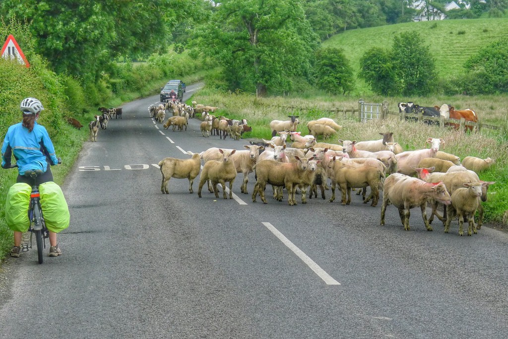 In rural Northern Ireland a farmer was moving his sheep to a new field. Our presence confused the poor fluffy guys, but they eventually figured it out.