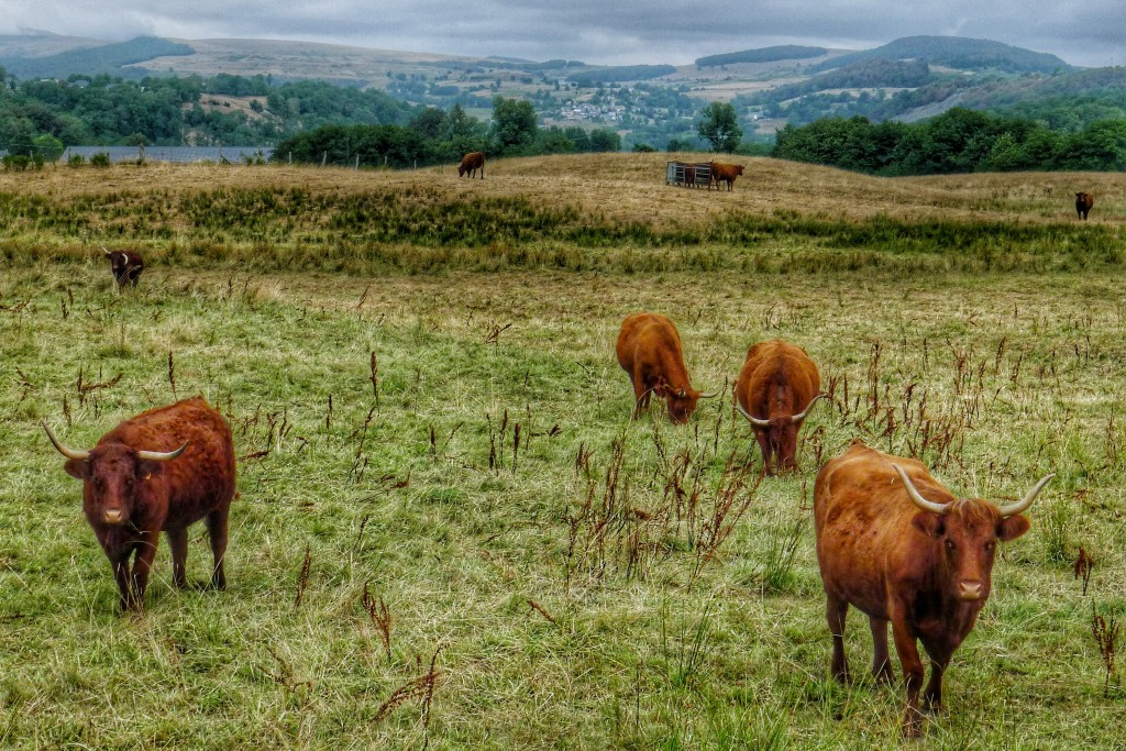 The ride to Aurillac featured pasture after pasture of these horned cows.