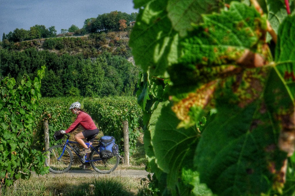We then cycled through lots of wine country. It's nearly harvest time. The grapes are looking ripe.