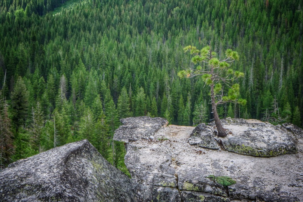 A pine tree makes a valiant effort to live atop a granite boulder on the way up to Lick Creek Summit.