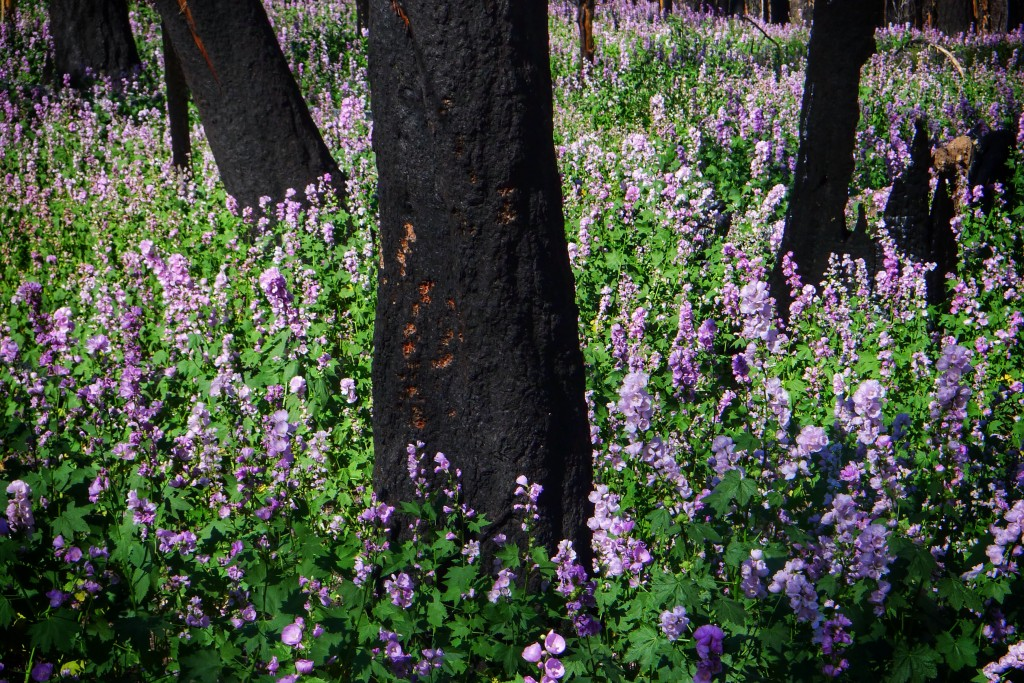 Purple flowers enjoy clear access to the sun after a fire ravaged this area a couple of years ago.
